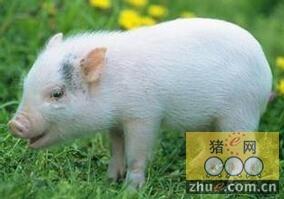 富含肌苷酸的核苷酸添加剂可改善保育仔猪的生长发育和健康