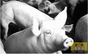 猪有病其实就是人有病,猪场管理水平决定生猪健康状况