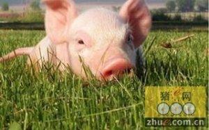 对猪应用基因编辑