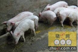 寒冷冬季 猪舍潮湿会引发腹泻 这样解决......