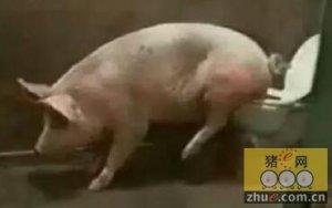 简易调教方法让猪定点排屎尿