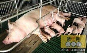 90年代养猪场常见病---母猪乳房炎防治及措施