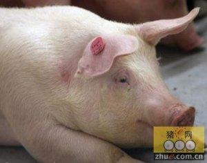 安徽歙县遭遇低温冰冻灾害 部分生猪被冻死