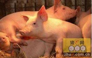 中毒或是制约我国养猪业PSY的直接因素