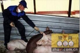 爱沙尼亚又暴发76例非洲猪瘟