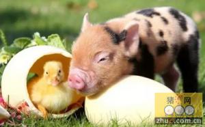 养猪盈利养鸡亏 同是养殖两重天