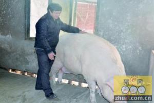"""四川:荣县千斤""""猪王"""" 看起来像一头牛"""