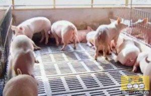 直接影响猪场效益,漏缝地板的学问竟然有这么多!