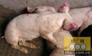 猪场服务兽医人员一定要掌握猪蓝耳病发生及应急预案