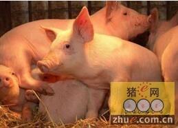 仔猪免疫耐受是引起猪瘟疫情的重要原因?