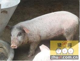 常见的猪皮肤病诊断及防治