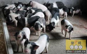 湖南:绥宁黔邵花猪产业风生水起