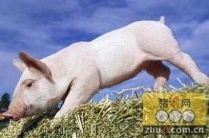 仔猪饲养应该如何制定产房寄养标准?