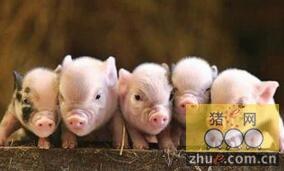猪场打疫苗时注意的问题且容易忽略的细节