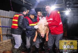 广东广州突击检查私宰窝点 屠夫未及给猪注水忙逃窜