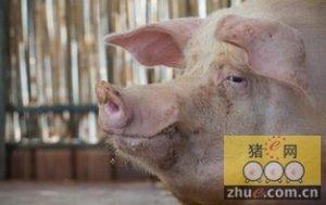 """""""世纪寒潮"""",对猪价影响几何?"""