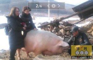 胖纸的逆袭!辽宁两头猪重900公斤成明星