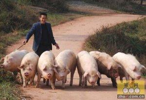 四川仪陇:村民返乡养猪 短短5个多月收益近30万元