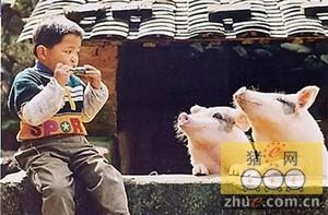 中国富裕阶层青睐有机猪肉:不会被快速催肥