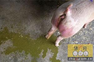猪流行性腹泻(PED)的传播途径及防控策略