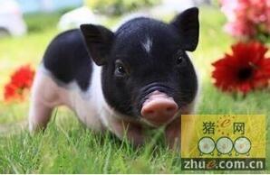 新五丰:目前生猪的价格有所上涨