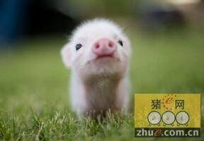1月份无锡猪价再创新高 预计春节前将保持9元高位