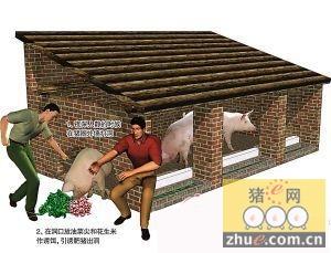 饲料掺安眠药 蟊贼偷200头猪