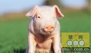 新余生猪价格持续高位 后市行情依旧可期