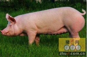 母猪厌食症的处理方法