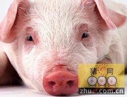 营养才是猪抗病力的物质基础和根本