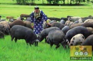 草原牧场牧猪走入上海市民餐桌