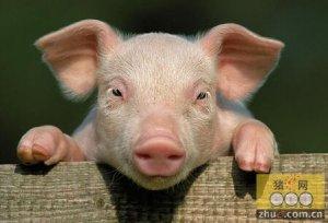 春季猪病防控的十条制胜法宝