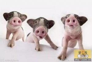 猪圆环病毒病临床症状和综合预防