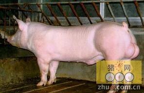 猪配种旺季公猪的饲养管理