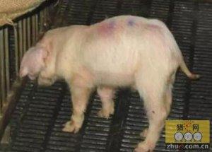 副猪嗜血杆菌病典型病例的诊疗体会