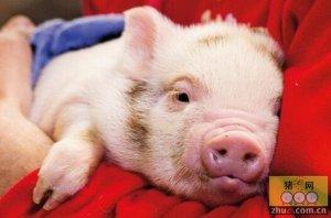 """""""现代化养猪""""就是反科学地养猪?那一定是它打开的方式错误……"""