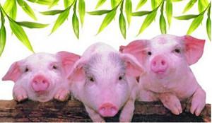 河南:今年全省力争实现育肥猪保险全覆盖