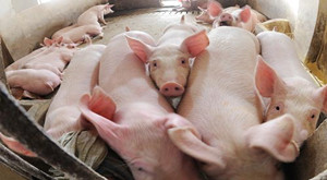 老兽医支招:猪疫苗免疫操作的细节管理