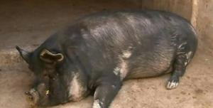 """云南:弥渡有头600公斤重的""""网红猪"""" 售价近万元"""