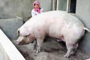 """""""猪刚烈""""体重近一吨 农户不忍宰杀"""