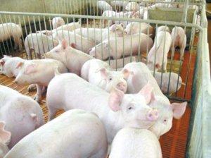 山西大同市生猪产销同步增长