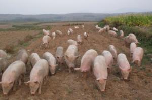 安徽淮北濉溪一养猪场突起大火 百头生猪获救