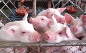 供需博弈 猪价回调幅度略有放缓