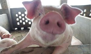 蓝耳、猪瘟、口蹄疫等疫苗的免疫技术