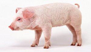 改变猪的遗传基因序列 解决致命病毒