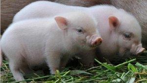"""从人的角度思考猪的问题,""""母猪一生""""的经典描述和养殖投入分析"""