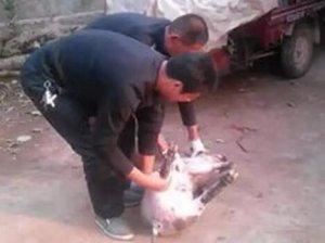 养猪生产一线阉割技术及术后疾病的诊治