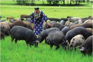 丰富的生活环境可帮助减少种猪斗殴