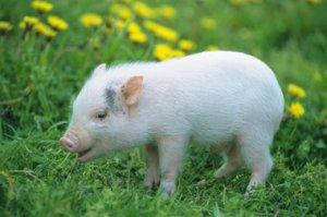 陕西生猪行业提升品种改良是关键