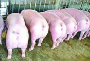 猪场生产车间如何做到温湿度之间的动态平衡